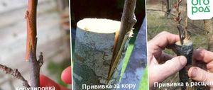 Прививка вишни, черенки для весенней прививки, способы прививки