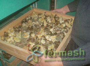Проблемы, которые возникают при выведении птенцов перепелов
