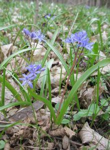 Пролеска сибирская: описание и особенности выращивания