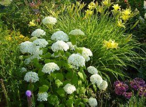 Прунелла - неприхотливая многолетняя красавица в саду