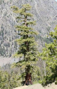 Псевдотсуга – необычный вид семейства сосновых