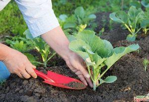 Ранняя капуста: сорта и особенности выращивания