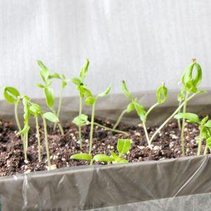 Рассада. проблемы выращивания