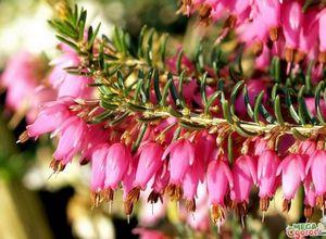 Растение эрика: способы размножения и особенности ухода