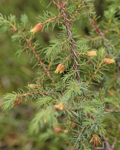 Растение синяк – один из лучших медоносов
