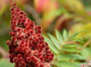 Растение сумах: выращивание и применение