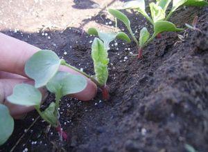 Расти редис на огороде
