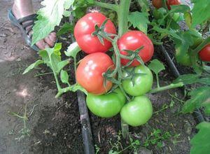 Растим рассаду помидор дома эффективным методом