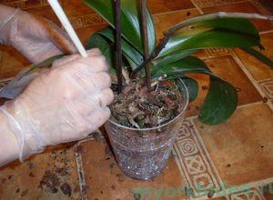 Размножение фаленопсиса черенками и правила выращивания