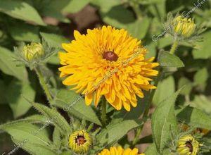 Размножение и посадка: размножение семенами