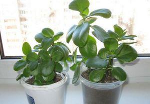 Размножение каланхоэ: листом, семенами, детками и черенками
