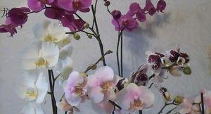 Разнообразие сортов и правила ухода за орхидеей фаленопсис