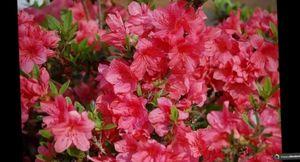 Разнообразие видов цветка горец, особенности его домашнего выращивания и размножения