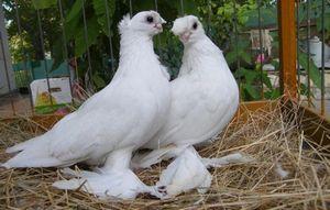 Разведение домашней птицы. правильно спариваем курей