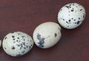 Разведение перепелов для получения яиц