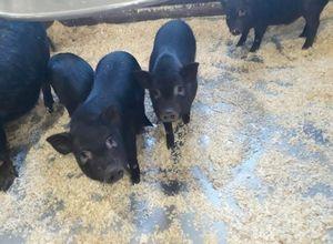 Разведение свиней 2