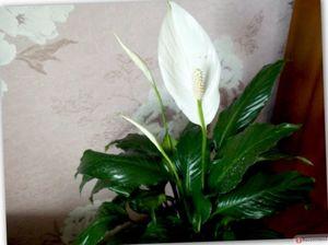 Рекомендации для цветоводов: как правильно ухаживать за спатифиллумом