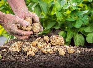 Рекомендации огородникам: правильная обработка почвы под картофель