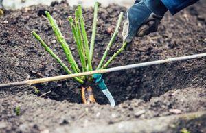 Рекомендации садоводам: как правильно сажать розы в открытый грунт