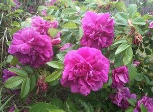 Роза ругоза и ее виды, уход и особенности