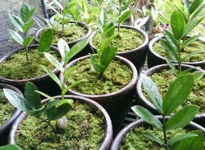 Рука марии: особенности, размножение и уход за растением