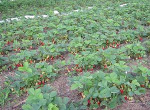 Садовая земляника клери — вкус и аромат на высшем уровне