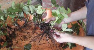 Садовая земляника машенька: растим крупноплодную красавицу на грядке