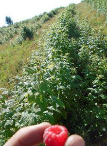 Садовая земляника сорта лорд: как вырастить ягоду с изысканным вкусом