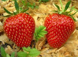 Садовая земляника виктория: одержать победу и получить большой урожай