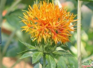 Сафлор красильный: характеристика и секреты выращивания растения