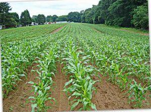 Сахарная кукуруза - выращивание: от посадки до ухода