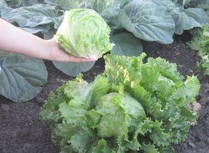 Салат цикорный - лучшие сорта и агротехника