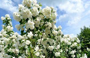 Самые красивые цветущие кустарники для сада