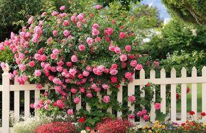 Самые красивые цветущие лианы для сада