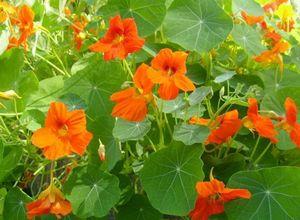 Самые неприхотливые цветы для сада (однолетники и многолетники)