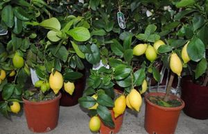 Самые популярные комнатные цитрусовые растения: виды и их выращивание