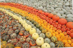 Самые популярные сорта мускатной тыквы: характеристики и фото