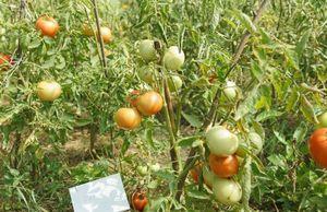 Сажаем крупноплодные томаты