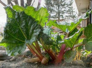 Сажаем ревень в огороде