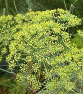 Сажаем укроп и петрушку: подготовка семян, уход и особенности посадки