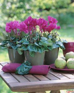 Секреты пересадки цикламена и уход за растением