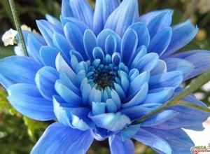 Секреты выращивания синих хризантем на садовом участке