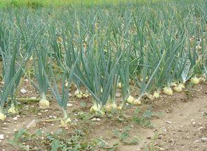 Семена ярового ячменя: подбор, посадка и уход