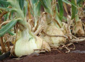 Семена репчатого лука: техника выращивания и уход