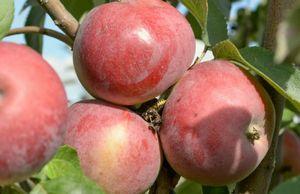 Северный синап - лучший сорт яблони для выращивания в саду