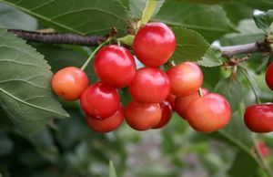 Шпанка вишня: описание, посадка и уход