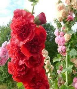 Шток роза: выращивание и полезные свойства цветка