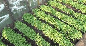 Сидераты на даче. как сажать, выращивать, примененять.