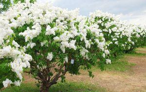 Сирень - кустарник или дерево: описание и выращивание