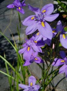 Сисюринхий: виды и их особенности, размножение растения